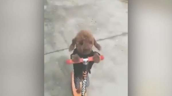 News video: Hund klaut Kleinkind das Kickboard