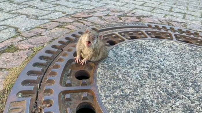 News video: Twitter-Wirbel um Ratten-Rettung
