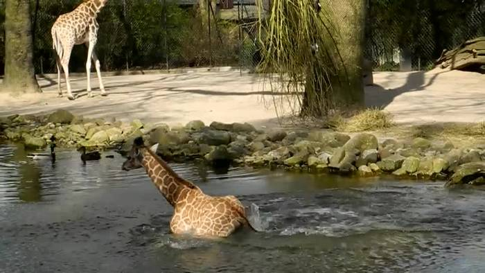 News video: Welt-Giraffentag: Lange Hälse am längsten Tag