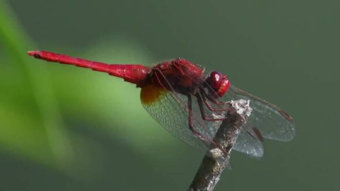 Video: Spektakuläre HighSpeed-Aufnahmen zeigen Libellen im Flug