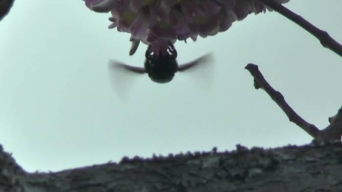 Video: Woher die Holzbiene ihren Namen hat