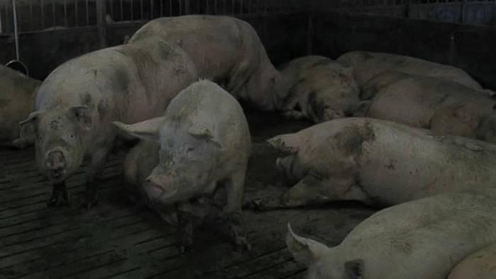 Video: Osteuropa: Afrikanische Schweinepest weitet sich aus