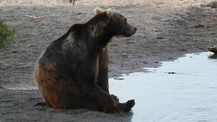 Video: Hungrige Bären werden zur Gefahr für Touristen