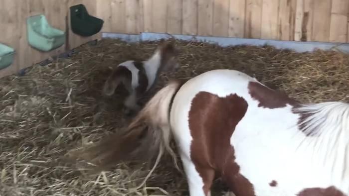 Video: Wie süß! Minishetty auf der Ballermann Ranch geboren!