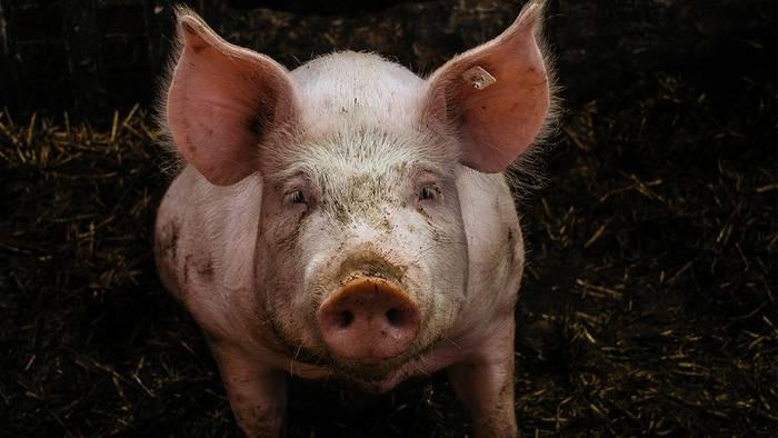 News video: Um dem gegnerischen Verein zu höhnen: Fußball-Fans quälen Schwein fast zu Tode