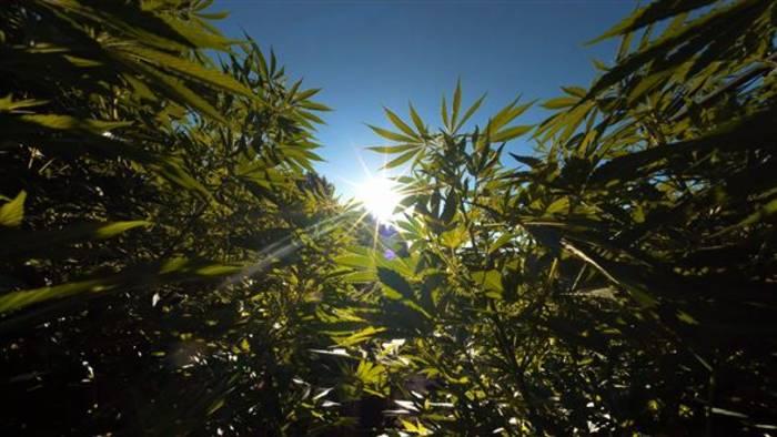 News video: Die Niederlande will die Produktion von Cannabis legalisieren