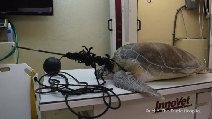 News video: Tierklinik entfernt Speer aus Schildkröte in Florida