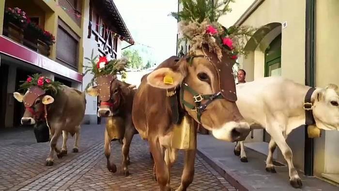 Video: Südtirol: Kühe in Festkleidung kommen heim
