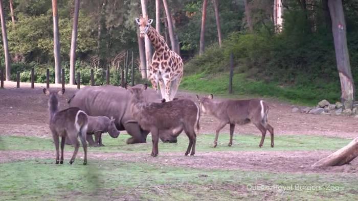 News video: Süßes Tiervideo: Nashorn-Baby nimmt es mit allen auf