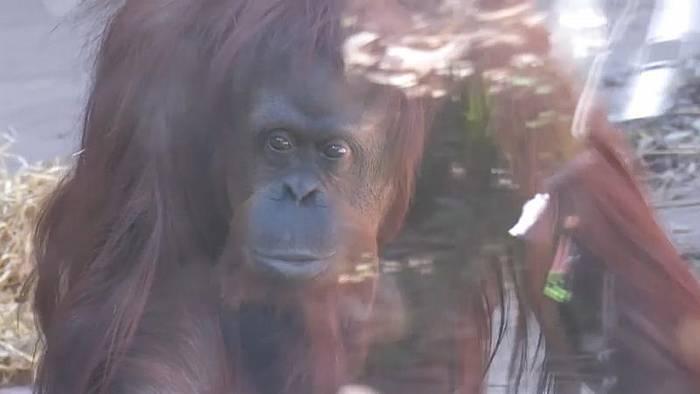 News video: Nach 33 Jahren hinter Gittern: Argentinische Orang-Utan-Dame zieht ins Affenreservat um