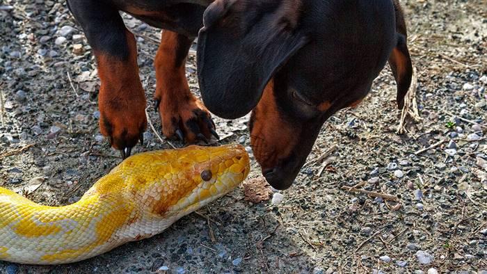 Video: Ihr Hund wird von einer Python umklammert - die Kinder zögern keine Sekunde