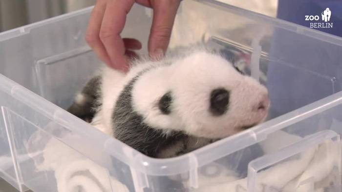 Video: Schon 1400 Gramm: Berliner Panda-Zwillinge nehmen fleißig zu