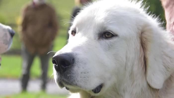 News video: Prüfung für Herdenschutzhunde mit Leibwächter-Mentalität