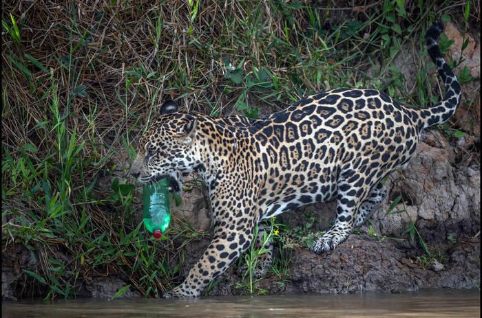 Video: Schock-Foto: Jaguar spielt mit Plastik-Müll