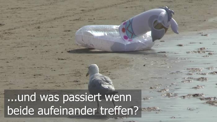 News video: Möwe vs. Gummitier!