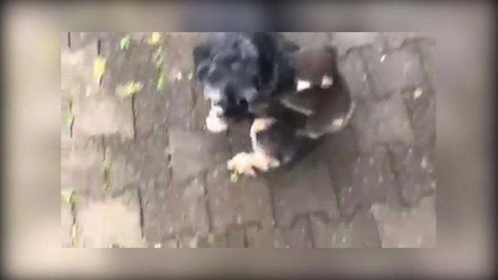 News video: Patchwork Familie? Koalababy auf Hundemama