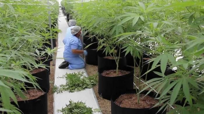 Video: Cannabis: Frankreich will Studie zum medizinischen Einsatz erlauben