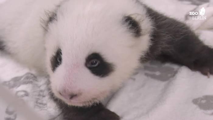 Video: Neues Domizil: Berlins Panda-Zwillinge brauchen mehr Platz