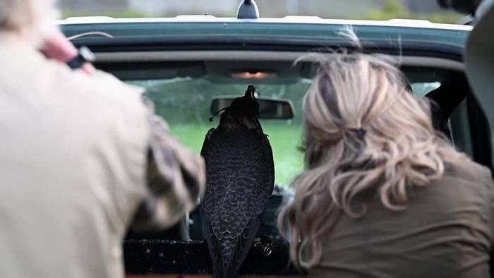 News video: Jagen mit dem Steinadler - Ein Falkner berichtet