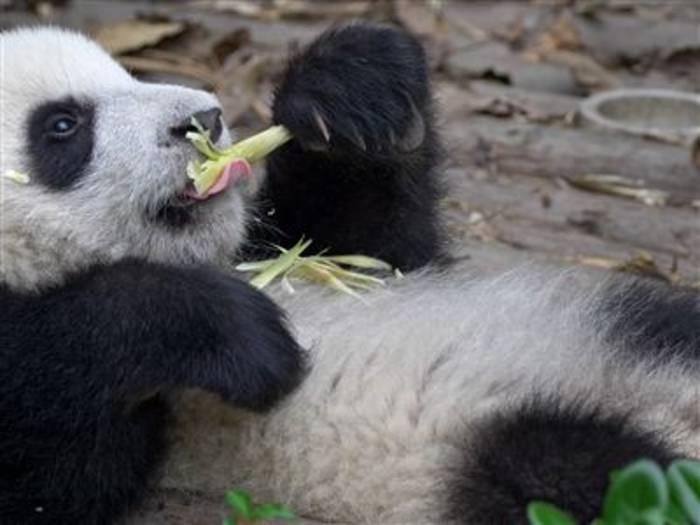 Video: Wie der Große Panda vor dem Aussterben gerettet wird