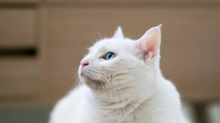 News video: Das solltest du beachten, bevor du eine weiße Katze adoptierst