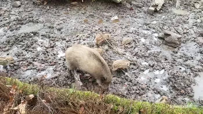 Video: Schweinepest-Fälle nahe deutscher Grenze