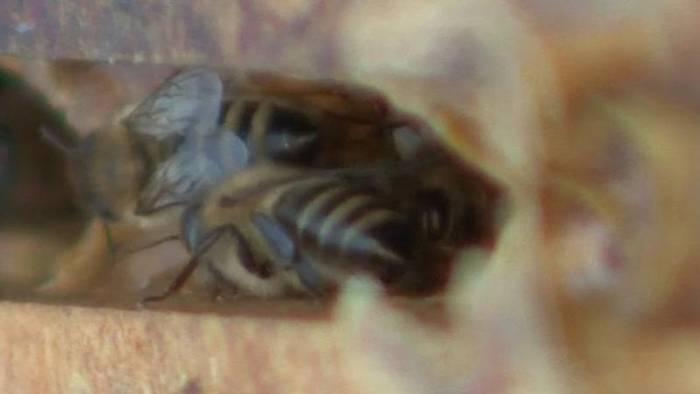 Video: Bienen - ein bestechender Wirtschaftsfaktor