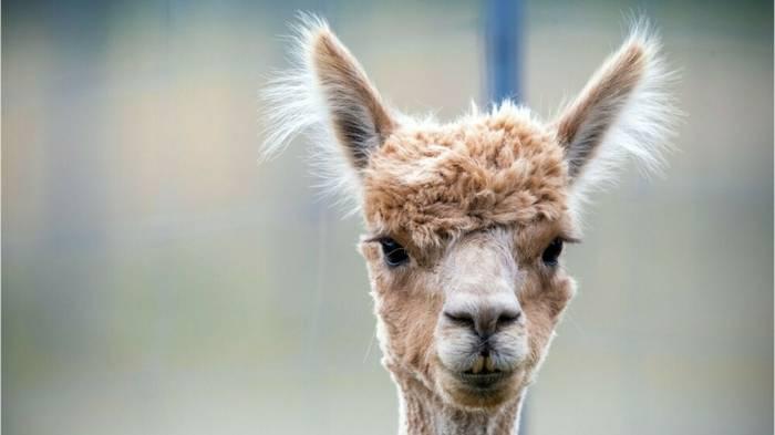 News video: Alpaka-Diebstahl? Christinchen spurlos aus Streichelzoo verschwunden