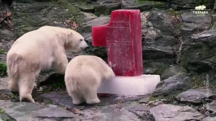 News video: Eisbärin Hertha bekommt zum Geburtstag eine Überraschung