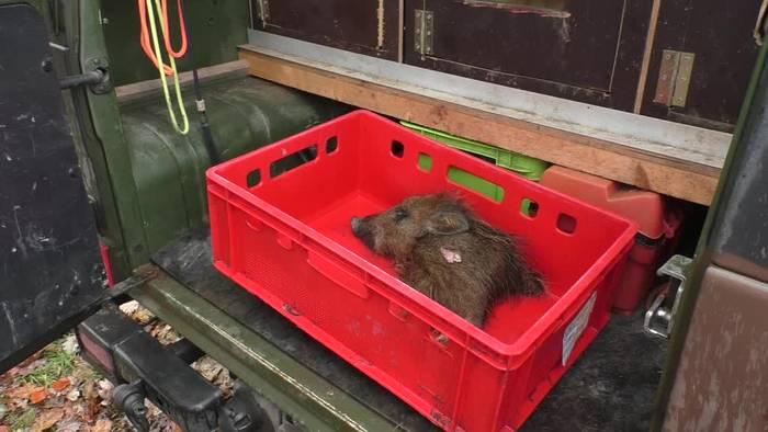 News video: Schweinepest: Erste Suchhunde für Wildschweinkadaver