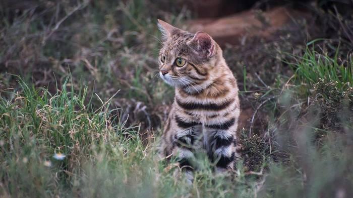 News video: Tödlichste Katze der Welt: