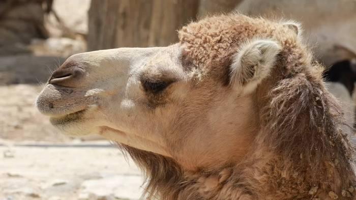 Video: Australien ordnet Massentötung an: 10.000 Kamele im Visier