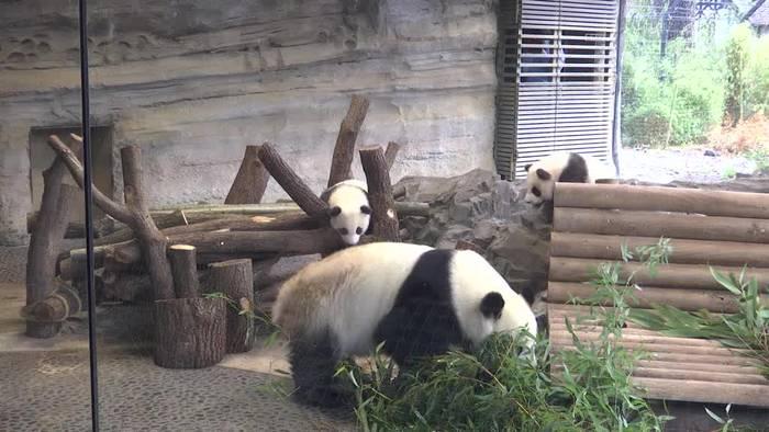 News video: Großer Auftritt der Berliner Panda-Brüder