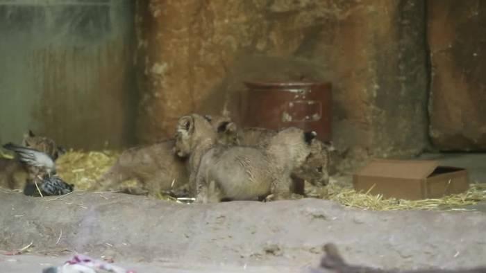 News video: Löwen-Fünflinge im Leipziger Zoo erstmals präsentiert