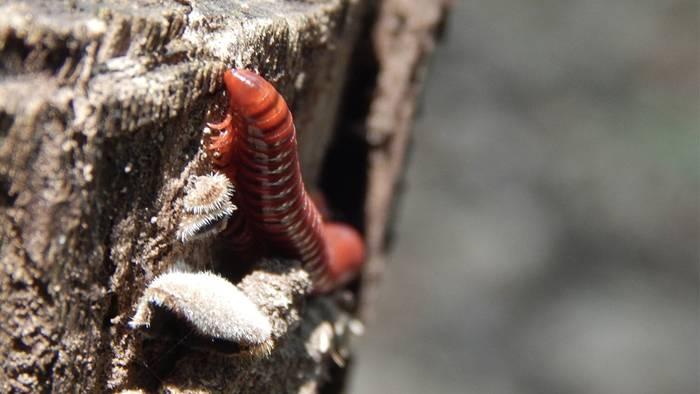 News video: Fleischfressender Wurm aufgetaucht: Diese beunruhigenden Folgen hat er für uns