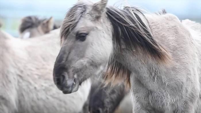 News video: Wildpferdeherde im Speicherkoog ist zu groß geworden