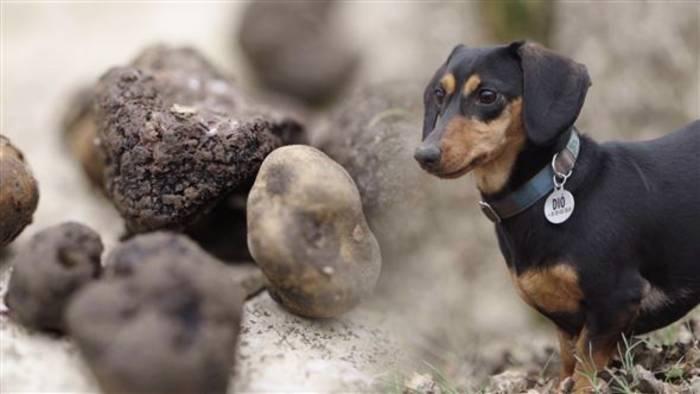 News video: Tiere mit besonderen Aufgaben: Trüffelhunde