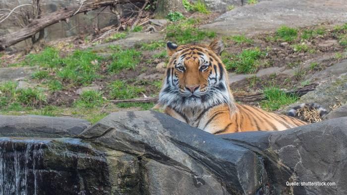 News video: In New York City: Tiger von Corona befallen