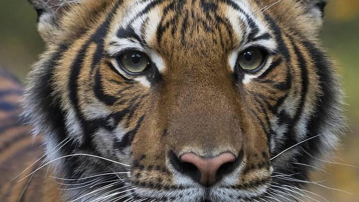 News video: Covid-19: Tiger und Löwen erkrankt - Sorge um Menschenaffen