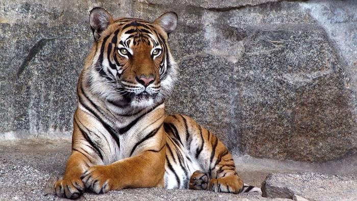 News video: New York: Erster Tiger positiv auf Covid-19 getestet