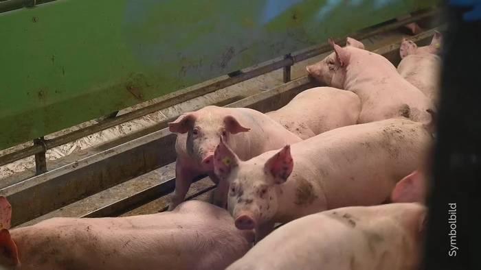 Video: Beim Fleischkauf spielt Tierschutz keine große Rolle