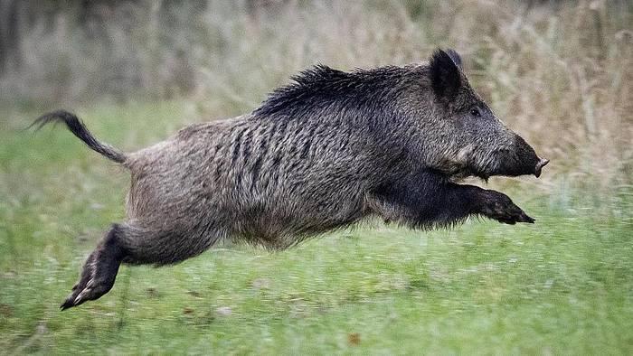 Video: Afrikanische Schweinepest springt von Ost- nach Westpolen