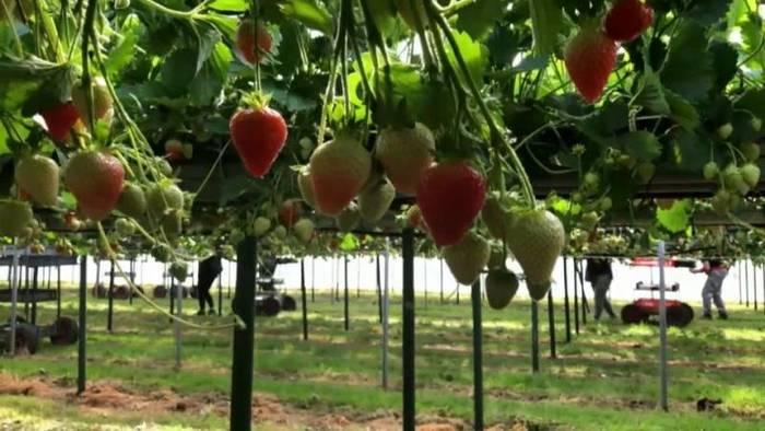 Video: Britische Bauern bangen: Wer wird ihre Erdbeeren pflücken?