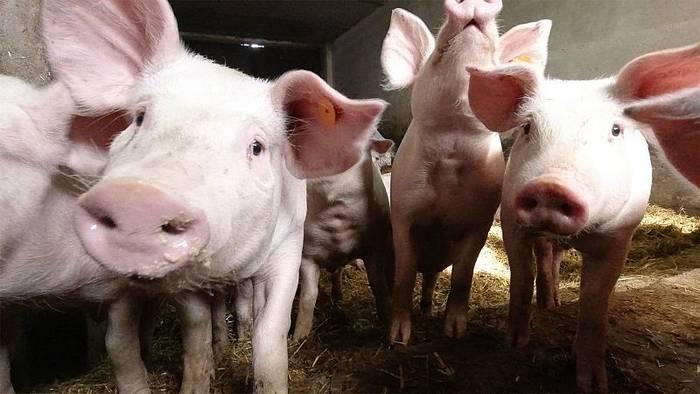 Video: Afrikanische Schweinepest auf dem Vormarsch in Europa