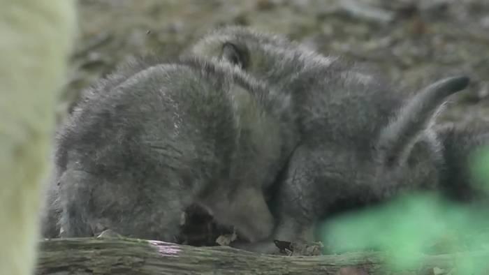 News video: Nach 13 Jahren: Polarwolf-Nachwuchs im Stralsunder Zoo