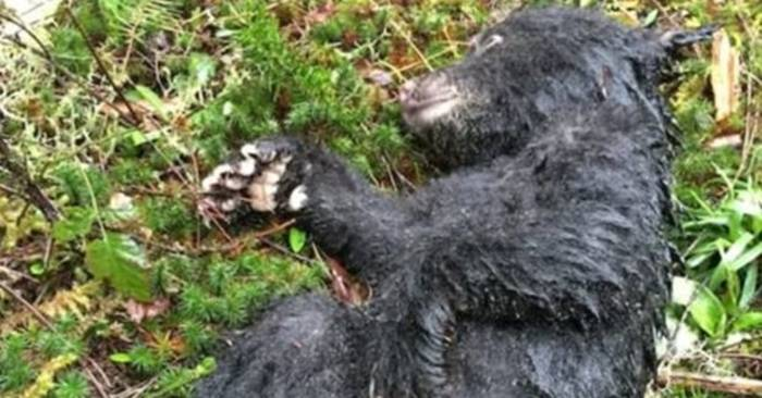 News video: Mann findet Bärenbaby in Not: Er trifft eine mutige Entscheidung