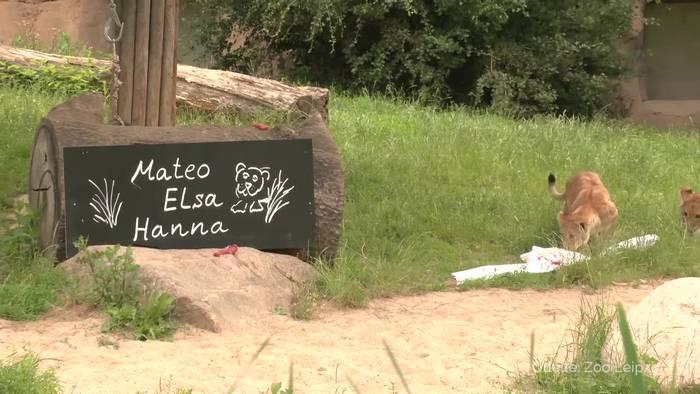 News video: Drei Löwenbabys im Leipziger Zoo getauft