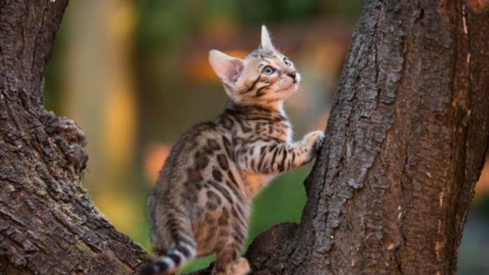 News video: Das ist die jüngste Katzenrasse der Welt