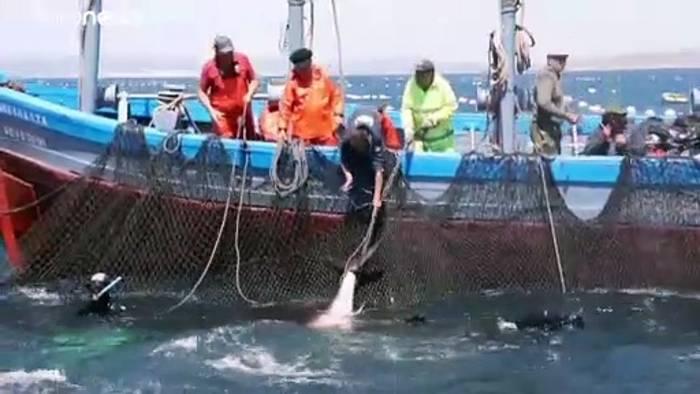 Video: Algenplage vor Gibraltar ist Gift für Thunfischfang
