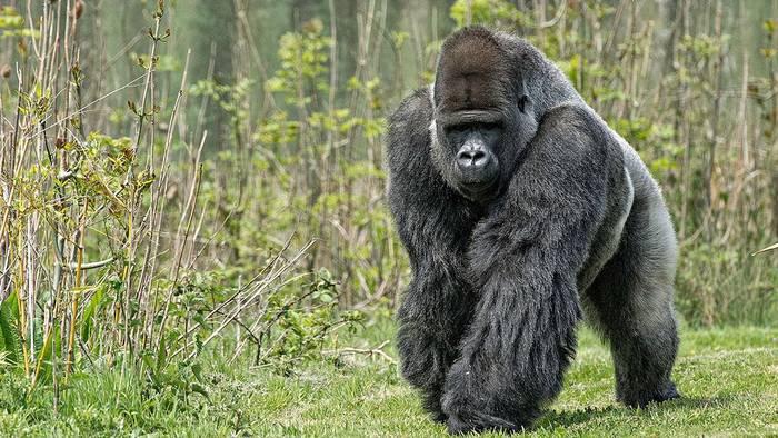 Video: Beeindruckende Bilder: Seltener Gorilla wurde zum ersten Mal fotografiert